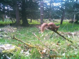 Red Squirrel, native to Foinse